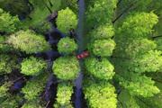 Chiêm ngưỡng vẻ đẹp lạ lùng của rừng tùng và thủy sam gỗ đỏ quý hiếm ở Trung Quốc