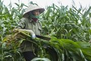 Trồng ngô không lấy bắp mà vẫn cho lợi nhuận 30 triệu đồng/ha, là giống ngô gì?