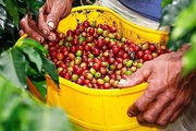 Giá nông sản hôm nay 4/8: Cà phê có xu hướng tăng, heo hơi tiếp tục rớt giá