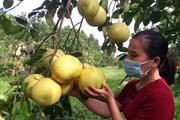 Hà Tĩnh: Vợ chồng trẻ cất bằng đại học về quê trồng bưởi sinh thái