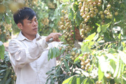 Chuyên canh cây nhãn Miền Thiết chín muộn, người nông dân Sơn La lãi gần nửa tỷ mỗi năm