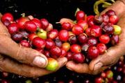 Giá nông sản hôm nay 1/9: Thị trường tiêu trầm lắng, đại lý ngừng gom hàng; cà phê có xu hướng đi lên