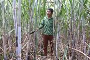 Nông dân Cò Nòi giàu lên nhờ trồng mía