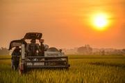 Hình ảnh thu hoạch lúa giữa mùa dịch  ở ngoại thành Hà Nội