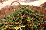 Giá nông sản hôm nay 13/9: Cà phê biến động trái chiều; Tiêu được giá, người dân bắt đầu mở rộng diện tích trồng