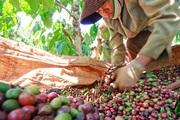 Xuất khẩu cà phê của Việt Nam được dự báo sẽ tăng mạnh, nhất là ở thị trường này