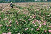 Cánh đồng sâm Bố Chính tiền tỷ ở Sơn Tây