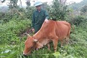Nậm Nhùn: Nhiều biện pháp phòng, chống dịch bệnh cho đàn vật nuôi