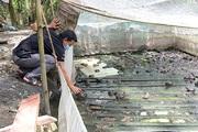 Một huyện của tỉnh Hậu Giang đang còn tồn đọng 1.800 tấn thủy sản quá lứa, đây là nguyên nhân