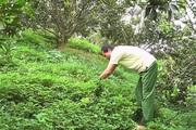"""Tuyên Quang: Nông dân ở vùng đất trù phú này """"nuôi"""" thứ cỏ dại Nam Mỹ tốt um trong vườn cam để làm gì?"""
