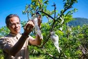 Tây Ninh: Mãng cầu lao đao vì dịch, thà bán lỗ còn hơn để rụng