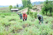 Lai Châu: Người trồng sả lao đao vì giá tinh dầu sả giảm