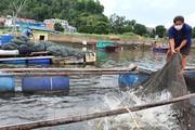 Hàng trăm tấn cá nuôi lồng bè tại Cửa Lò không có người thu mua vì dịch