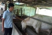Nông dân Tây Bắc: Nông dân Lai Châu kiếm bộn tiền nhờ nuôi ngựa bạch