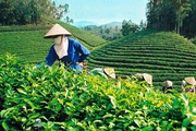 Đưa cây chè thành thế mạnh kinh tế ở Mường Hum