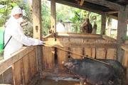Điện Biên: Phòng, chống dịch bệnh trên đàn gia súc, gia cầm