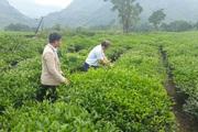 Tam Đường phát triển sản xuất nông nghiệp hàng hóa