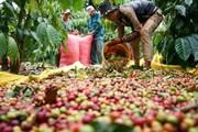 Giá nông sản hôm nay 5/9: Cà phê tuần qua tăng 100 đồng/kg; hồ tiêu vẫn nối dài đà giảm