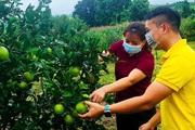 Nhìn xa trông rộng, nông dân Hòa Bình tính đưa cam Cao Phong lên bán ở chợ này