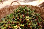 Giá nông sản hôm nay 8/9: Tiêu khởi sắc, sát ngưỡng 80 triệu đồng/tấn; cà phê nhích nhẹ