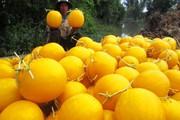 """Hoa trái tết miền Tây: Dưa hấu vỏ vàng óng, tạo hình """"lên ngôi"""""""