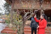 Vườn đào cổ thụ trăm năm tuổi có một không hai: Giá 150 triệu/gốc