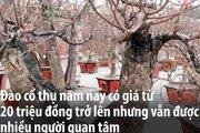 Clip: Đào cổ thụ chơi Tết giá hàng chục triệu ở Hà Nội