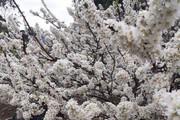 Rừng hoa mận trắng muốt đón Tết Mậu Tuất trên cao nguyên Mộc Châu