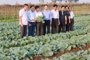 Củng cố tổ hợp tác  qua mô hình trồng bắp cải theo chuỗi
