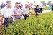 NPK Lâm Thao hàm lượng cao tăng lãi cho người trồng lúa