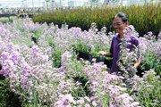 Lão nông 70 tuổi thích trồng hoa kiểng màu tím, thu tiền tỷ