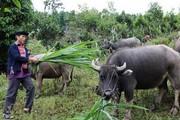Chuyện làm giàu ở Hà Giang: Trồng thảo quả, chè...để mua trâu