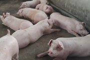 Dịch tả lợn châu Phi: Sơn La tức tốc lập 2 chốt kiểm dịch lưu động