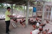 """Quảng Nam: Xây nhà lầu cho gà ở, gà """"trả lễ"""" 200 triệu đồng/năm"""