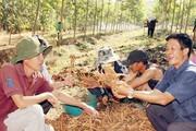Ở đây dân thuê đất cao su trồng loài sâm này, thu cả tấn củ