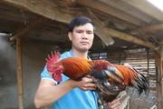 Sơn La: Nông dân nuôi gà lai chọi bán Tết, nhẹ nhàng mà lãi cao