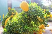 Ngắm đàn chuột độc lạ từ quất bonsai 7 triệu/chậu khách khuân ầm ầm