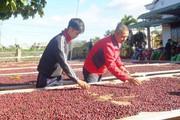 Cà phê Việt, đứng top 2 thế giới nhưng vẫn ôm nỗi buồn giá thấp