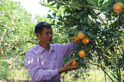 """Sơn La: """"Trúng số"""" nhờ trồng giống cam chín muộn trên đất dốc"""