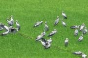 Đồng Tháp: Hàng ngàn con cò ốc xuất hiện trên cánh đồng lúa non