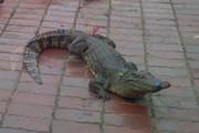 Hàng chục con cá sấu thả rông, bò lổm ngổm trên vỉa hè