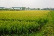 Đề xuất mới về quản lý và sử dụng đất trồng lúa
