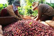 Giá nông sản hôm nay 16.4: Cà phê toàn cầu thâm hụt ở mức đáng sợ?