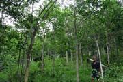 Ngưỡng mộ cánh rừng toàn gỗ quý hiếm của lão nông 78 tuổi