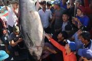 Lần đầu tiên câu được cá ngừ vây xanh nặng 232kg, giá 60 triệu đồng