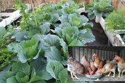 Mẹ đảm vừa trồng rau xanh mướt, nuôi gà sạch trên sân thượng 40m2