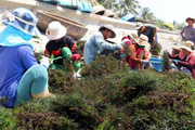 Trúng mùa trúng giá 2 thứ này, ND Ninh Thuận bỏ túi hàng chục triệu