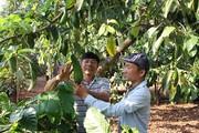 """""""Phát sốt"""" với giá bơ: Trồng 70 cây bơ xen cà phê, ước thu 350 triệu"""