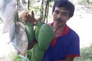 """Nông dân Sơn La trúng quả nhờ """"mặc áo"""" cho hàng nghìn quả xoài"""