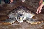 Cà Mau: Liên tiếp thả rùa biển quý hiếm về đại dương